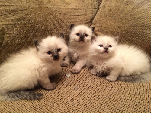 Azureys Cats Available Kittens
