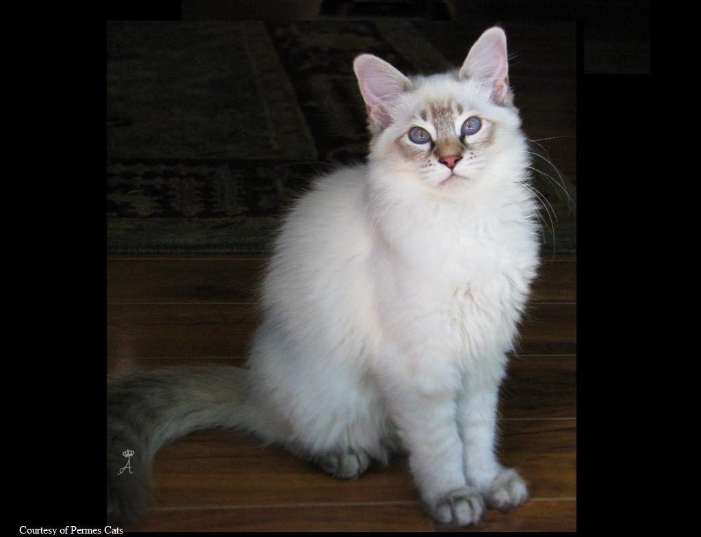 Azureys Cats - Balinese Lynx Information