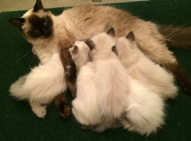 Azureys Cats Available Kittens