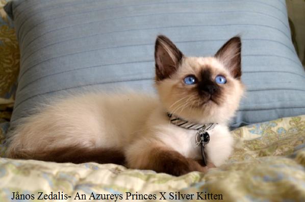 Azureys Cats - Balinese Information