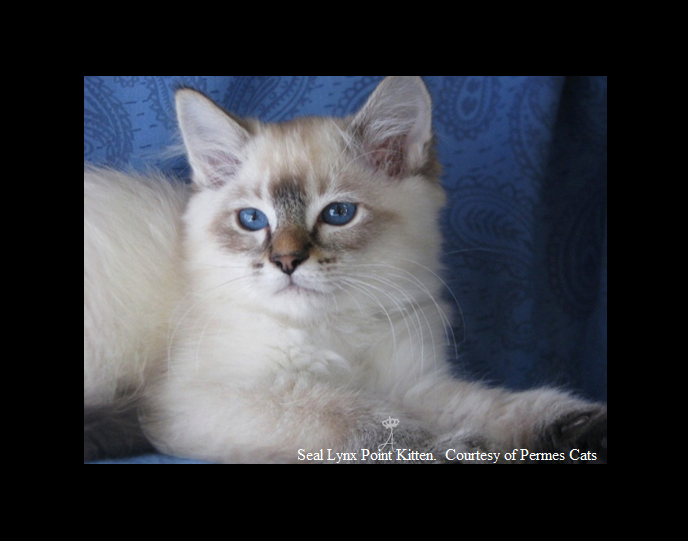 Azureys Cats Balinese Color Point Galleries