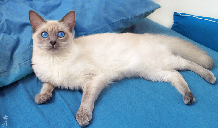 Azureys Cats Old Style Balinese Cat Siamese Cat Empire